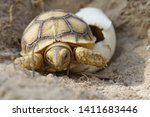 Stock photo africa spurred tortoise are born naturally tortoise hatching from egg cute portrait of baby 1411683446