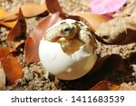 Stock photo africa spurred tortoise are born naturally tortoise hatching from egg cute portrait of baby 1411683539