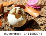 Stock photo africa spurred tortoise are born naturally tortoise hatching from egg cute portrait of baby 1411683746