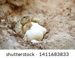 Stock photo africa spurred tortoise are born naturally tortoise hatching from egg cute portrait of baby 1411683833