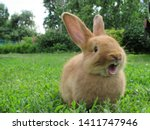 Stock photo red rabbit on green grass home decorative rabbit outdoors little bunny rabbit with open mouth is 1411747946