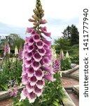 Dalmatian Foxglove Blooms Tall...