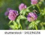 Honey Bee At Red Clover Flower