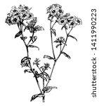 phlox drummondii is a flowering ... | Shutterstock .eps vector #1411990223