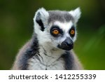 A Portrait Of A Ring Tailed...