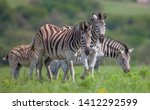Small photo of The zebras are the sine qua non of the African savanna and are a very good prey for predators.