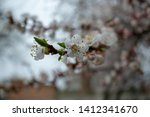 white apricot blossom. blooming ... | Shutterstock . vector #1412341670