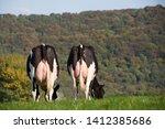 Holstein Dairy Cows In Field...