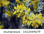 Yellow flowers and grey leaves of the Queensland Silver Wattle, Acacia podalyriifolia, family Fabaceae. Regarded as a weed in mainland Australian states other than Queensland as well as South Africa.