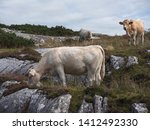 Cows Grazing Grass On A Hill ...