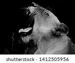 Lioness Portrait Close Up Yawn