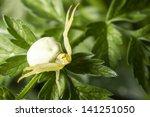 Portrait Of A White Crab Spider