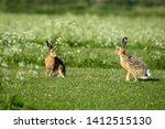 Stock photo hares on schiermonnikoog the netherlands 1412515130