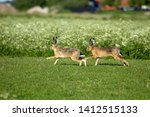Stock photo hares on schiermonnikoog the netherlands 1412515133