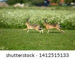 Stock photo hares on schiermonnikoog the netherlands 1412515133