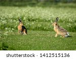 Stock photo hares on schiermonnikoog the netherlands 1412515136
