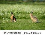 Stock photo hares on schiermonnikoog the netherlands 1412515139