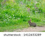 Stock photo innocent cute wild baby european hare lepus europaeus sitting on green grass and looking at 1412653289
