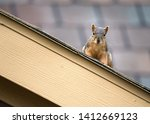 Squirrel Peeking Out From The...