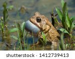 american toad  anaxyrus...   Shutterstock . vector #1412739413
