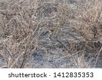 Stock photo scrub hare in the nature habitat at etosha national park namibia south africa a camouflage in 1412835353