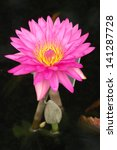 Pink and Yellow Water Lily - stock photo