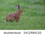 Stock photo european brown hare lepus europaeus an adult brown hare isolated in a field of grass 1412984120