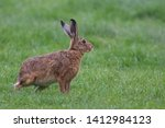 Stock photo european brown hare lepus europaeus an adult brown hare isolated in a field of grass 1412984123
