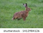 Stock photo european brown hare lepus europaeus an adult brown hare isolated in a field of grass 1412984126