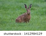 Stock photo european brown hare lepus europaeus an adult brown hare isolated in a field of grass 1412984129