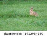 Stock photo hare lepus europaeus a young hare a leveret isolated in a field of lush grass 1412984150