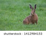 Stock photo european brown hare lepus europaeus an adult brown hare isolated in a field of grass 1412984153