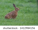 Stock photo european brown hare lepus europaeus an adult brown hare isolated in a field of grass 1412984156