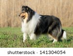 Female Rough Collie Dog