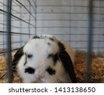 Stock photo rabbits caged at a fair registered bred rabbits to be judged close up view of fluffy rabbits with 1413138650