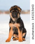 German Shepherd Puppy At Winter