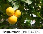 Horizontal Photo Of Grapefruit...