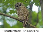Stock photo large male adult brown spotted owl 141320173