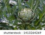 Fresh Green Artichoke Growing...