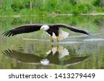 Bald Eagle In Flight Across...