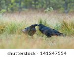 Common Ravens Couple