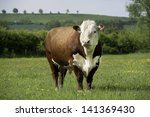 A Pedigree Hereford Bull In...