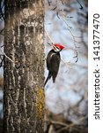 Pileated Woodpecker In The...