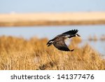Canada Goose In Flight Over A...