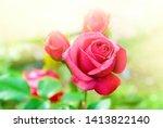 pink garden rose with warm...   Shutterstock . vector #1413822140