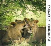 Loving Pair Of Lion And Liones...