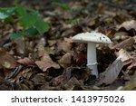 Poisonous Mushroom Amanita...