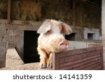 A pig overlooking the fence on a farm - stock photo