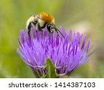 Great Yellow Bumblebee  Bombus...