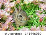 bunny in pink ice plant   Shutterstock . vector #141446080